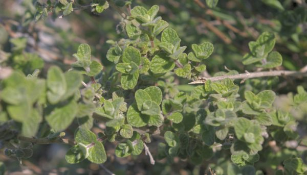 The source of Mediterranean Oil of Oregano